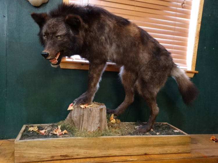 Beautiful Black Wolf Full Mount Taxidermy For Sale
