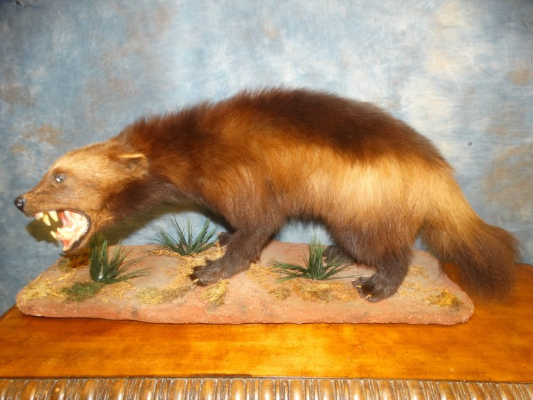 Awesome Wolverine Taxidermy Mount For Sale