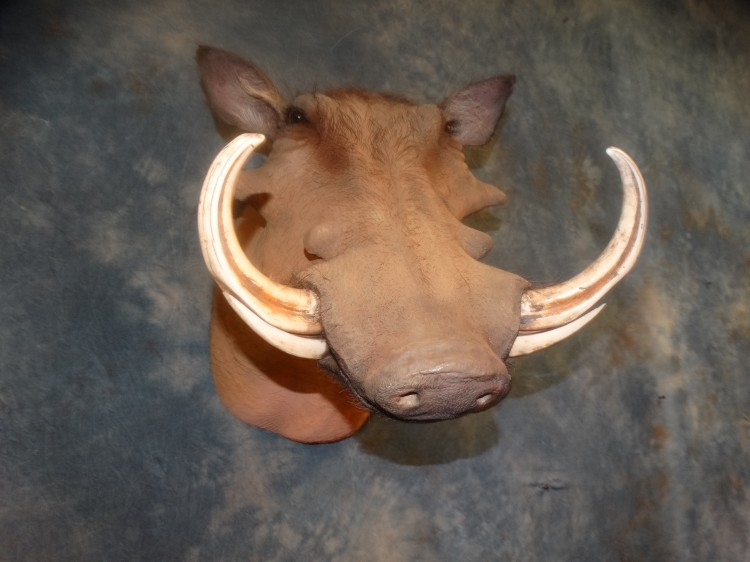 Warthog  Taxidermy Mount For Sale