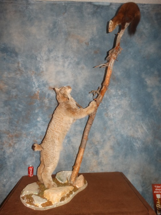 Awesome! Canadian Lynx & Pine Martin New Lifelike Quality Taxidermy Mount For Sale