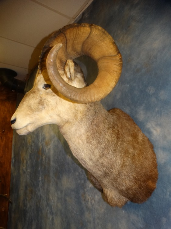"Awesome 40"" Stone Sheep Taxidermy Mount For Sale"
