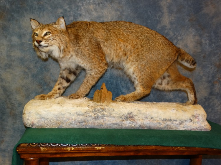 Giant Quality Montana Bobcat Trophy Mount Taxidermy For Sale