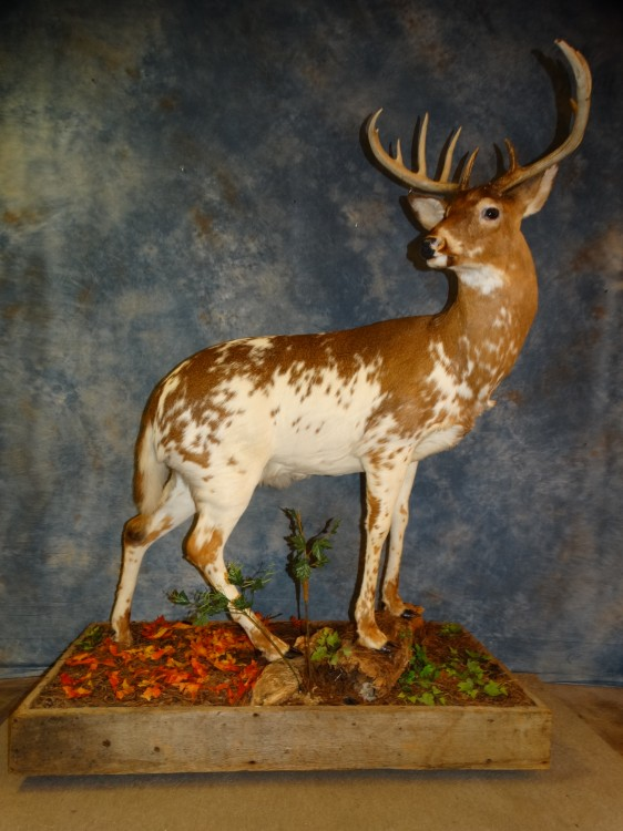 Super Cool Piebald Whitetail Deer Taxidermy Mount For Sale