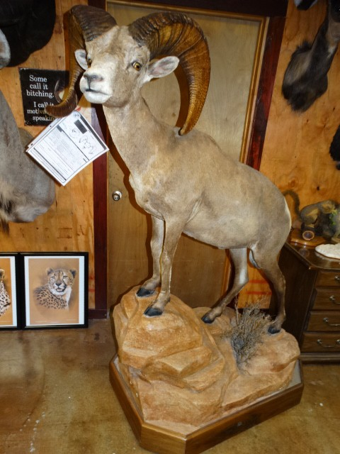 Boone & Crockett Desert Bighorn Sheep Taxidermy Mount For Sale