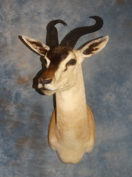 Rare African Somali  Soemmering's Gazelle Taxidermy Mount For Sale