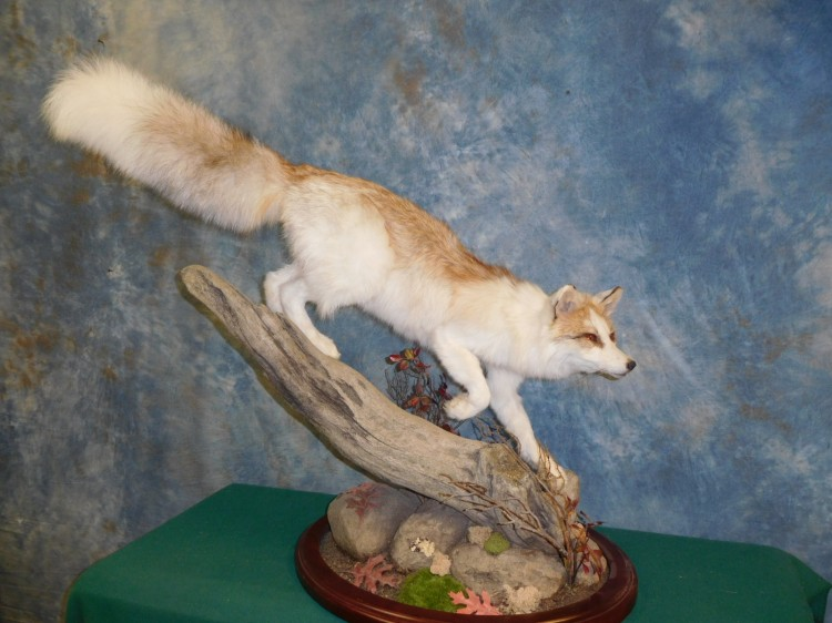 Awesome! Beautiful Quality Marble Fox Taxidermy Mount For Sale