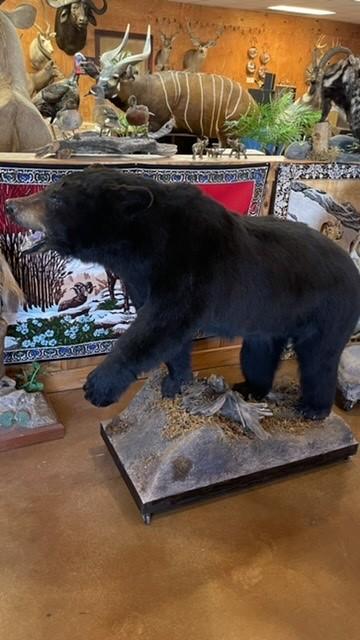 Beautiful Black Bear Full Body Mount Taxidermy For Sale