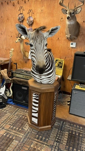 Beautiful Chapman Zebra Floor Pedestal Taxidermy Mount For Sale