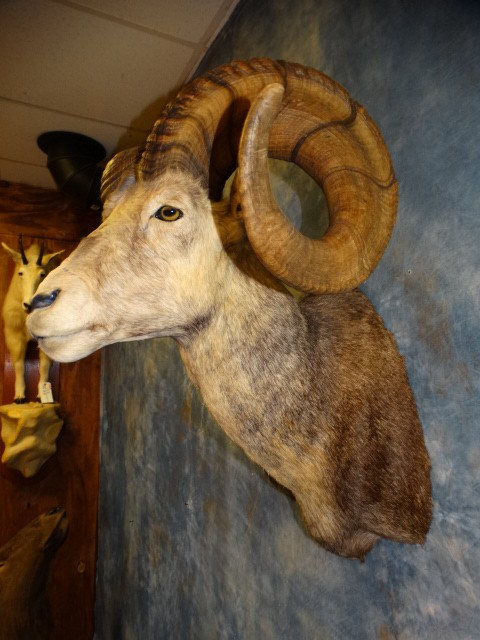 "39"" Stone Sheep Taxidermy Mount For Sale"