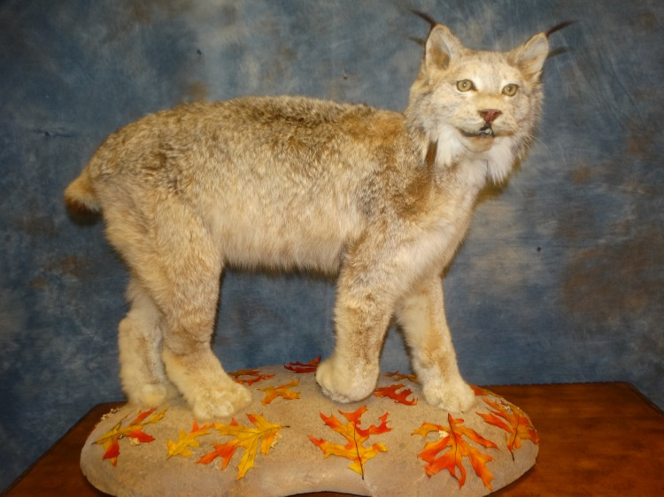 Awesome Alaskan Lynx Taxidermy Mount For Sale