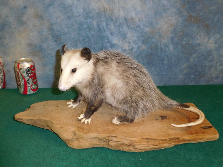 Mount - Brand new Opossum Taxidermy Mount For Sale