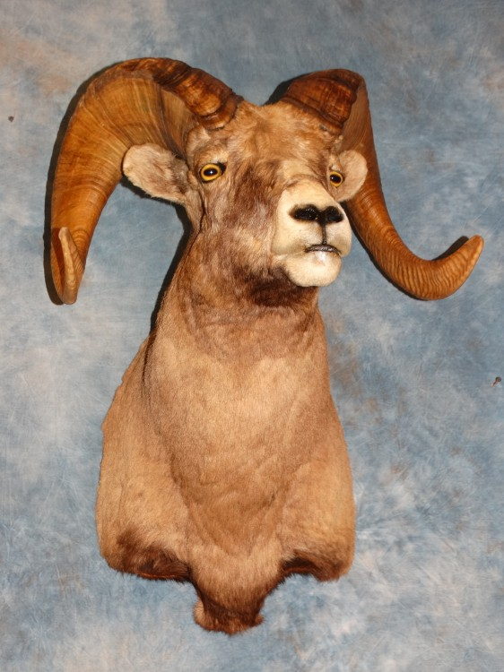Rocky Mountain Bighorn Sheep Taxidermy Mount For Sale
