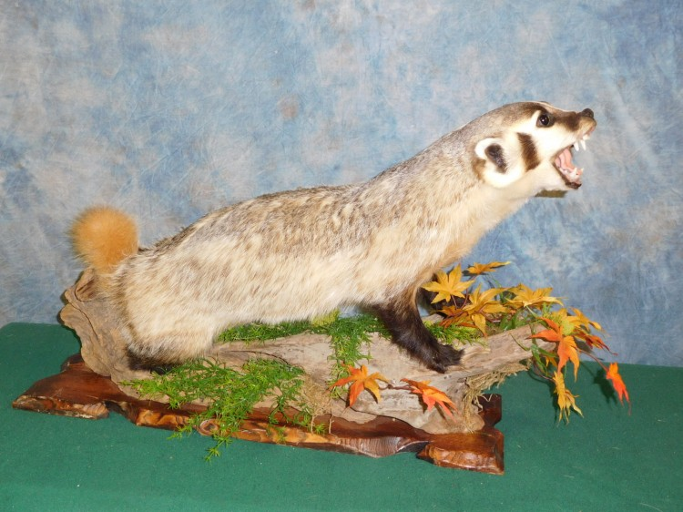 Brand new Badger Taxidermy Mount For Sale