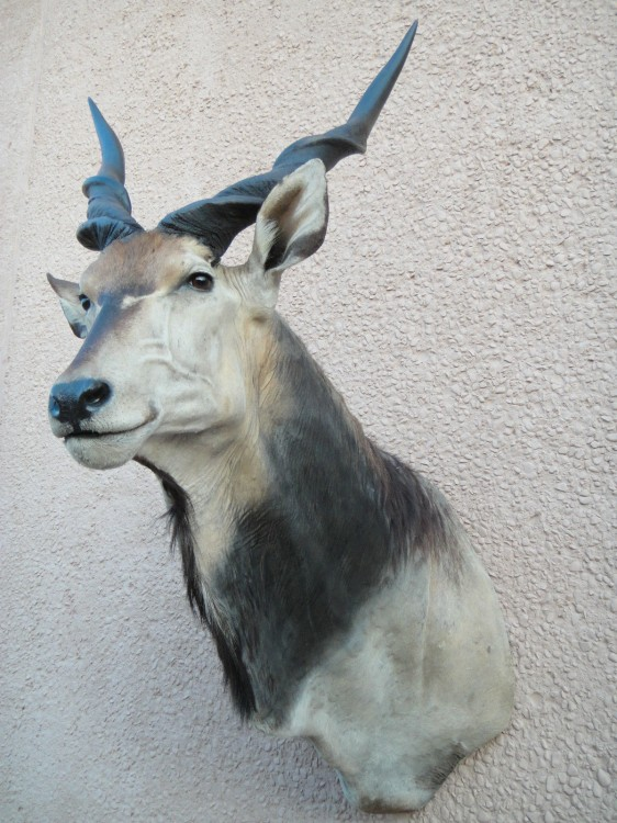 Awesome! Lord Derby Giant Eland Taxidermy Mount For Sale