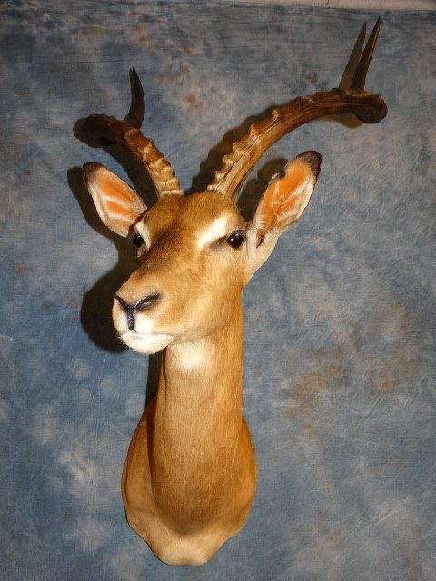 Quality Record Book African Impala Taxidermy Mount For Sale