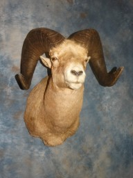 Boone & Crockett  Rocky Mountain Bighorn Sheep Taxidermy Mount For Sale