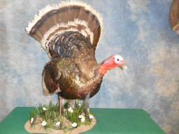 Beautiful Full Strut Wild Turkey Taxidermy Mount For Sale
