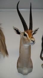 Peter's Gazelle