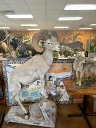 Boone & Crockett Desert Bighorn Sheep Full Body Mount Taxidermy For Sale