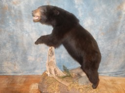 Awesome Black Bear Taxidermy Mount For Sale