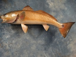 "Real Skin 27"" Redfish Saltwater Fish Mount Taxidermy For Sale"