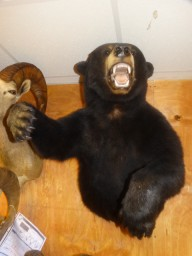 Half Body Black Bear Wall Taxidermy Mount For Sale