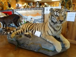 Award Winning Siberian Tiger Taxidermy For Sale (Texas Residents Only Please!!!)