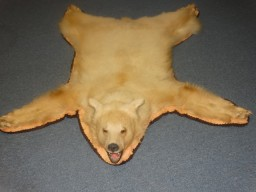 Very Rare 5ft Kermode Bear Rug Taxidermy Mount For Sale