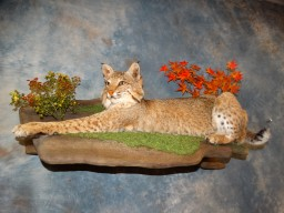 Awesome Brand new Large Texas Bobcat Taxidermy Mount For Sale