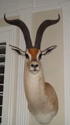 Record Book Grant's Gazelle