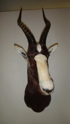 Blesbuck Taxidermy Mount For Sale
