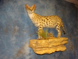 Stunning African Serval Cat Taxidermy Mount For Sale