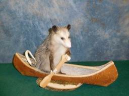 Brand new Opossum in Canoe Taxidermy Mount For Sale