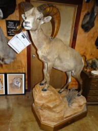 Boone & Crockett Desert Bighorn Sheep Taxidermy Mount For Sale