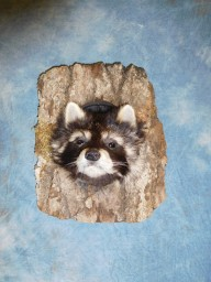 Brand new Raccoon Head Peeping out of Log Taxidermy Mount For Sale