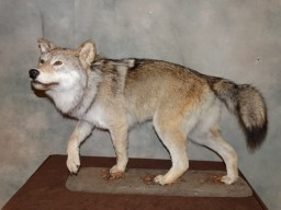 Quality Timber Wolf Taxidermy Mount For Sale