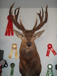 Trophy Red Stag Taxidermy Mount For Sale