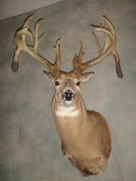 21pt. Monster Double Drop Whitetail Deer Taxidermy Mount For Sale