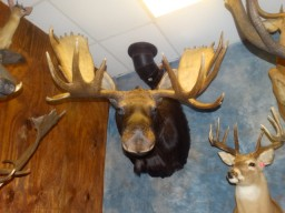 "Brand new Quality 50"" Canadian Moose Taxidermy Mount For Sale"