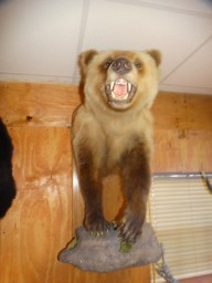 Half Body Grizzly Bear Wall Taxidermy Mount For Sale