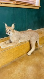 Gorgeous African Caracal Cat Full Taxidermy Mount For Sale