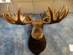 "Monster 62"" inch 12 x 12 Alaskan Moose Taxidermy Mount For Sale"