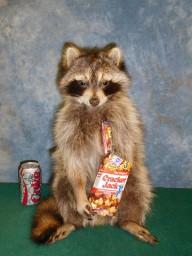 Cracker Jack Raccoon Taxidermy Mount For Sale