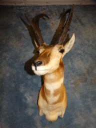 Trophy Pronghorn Antelope Taxidermy Mount For Sale