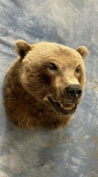 Gorgeous Grizzly Bear Shoulder Mount Taxidermy For Sale