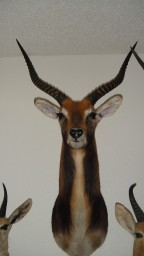 Black Lechwe Taxidermy Mount For Sale