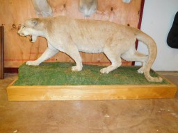 Big Mountain Lion Taxidermy Mount For Sale