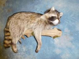 Brand new Raccoon on Log Wall Taxidermy Mount For Sale
