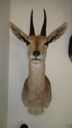 Southern Mountain Reedbuck