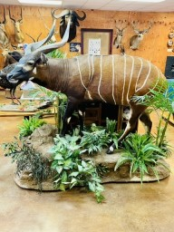 Awesome Bongo Full Body Mount Taxidermy For Sale